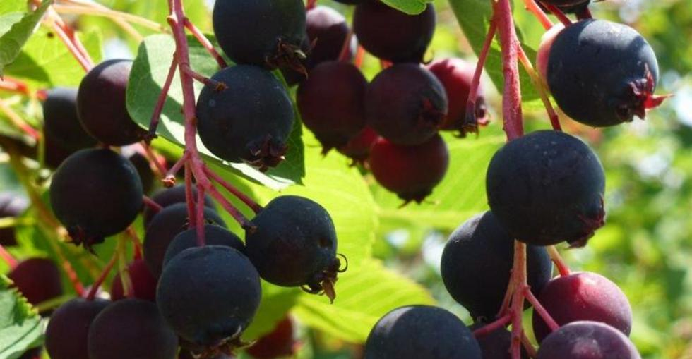 South Island Saskatoons | Saskatoon Berry Farm
